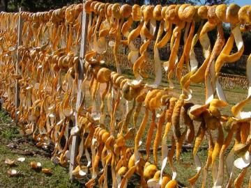 Producen cáscara de naranja agria en San Pedro